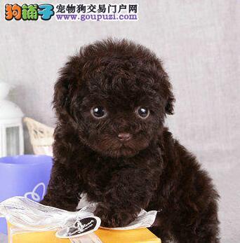 转让韩系血统泰迪犬 体型小品相极佳成都地区有实体店