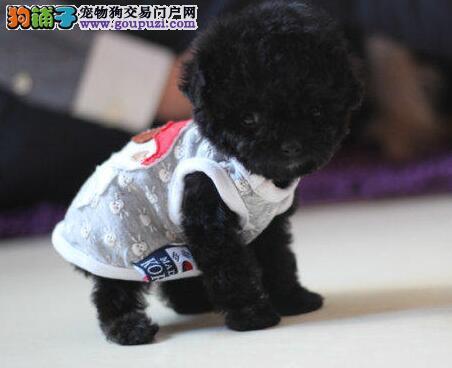 兰州狗舍出售精品泰迪犬多个颜色可上门选购