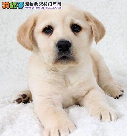 优秀健康高品质拉布拉多犬特价出售 欢迎来深圳购买