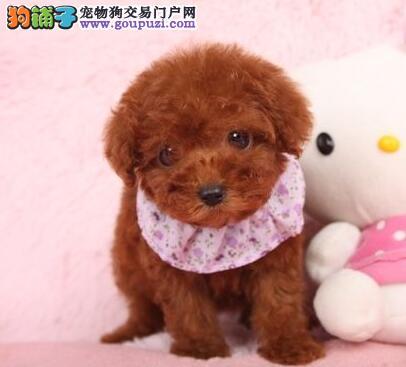 温州正规犬舍出售多种颜色泰迪犬 质量三包放心选购