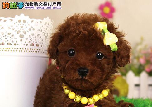 火爆出售毛色佳品相好的温州贵宾犬 可送狗上门选