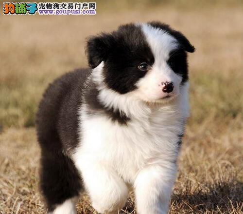 高智商极其聪明的杭州边境牧羊犬找新家 疫苗驱虫齐全