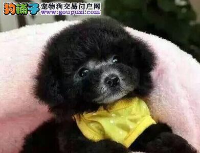 精品韩系泰迪犬郑州犬舍直销 身体健康及血统有保证