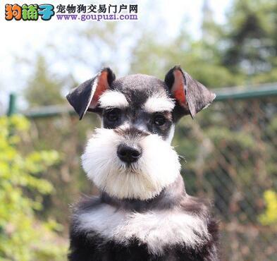 贵阳自家繁殖的纯种雪纳瑞找主人微信咨询看狗