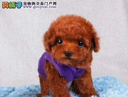 自家狗场热销精品韩系贵宾犬 保健康贵阳周边可免运费