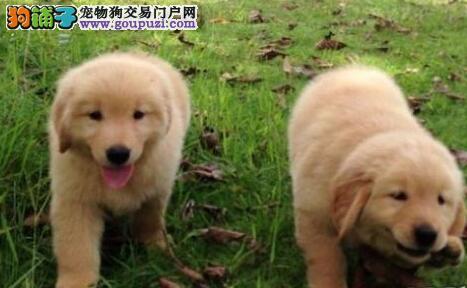 自繁自销超高品质的昆明金毛犬 喜欢的朋友上门选购吧