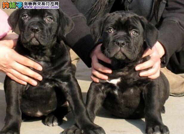 大丹犬成都最大的正规犬舍完美售后签协议上门选