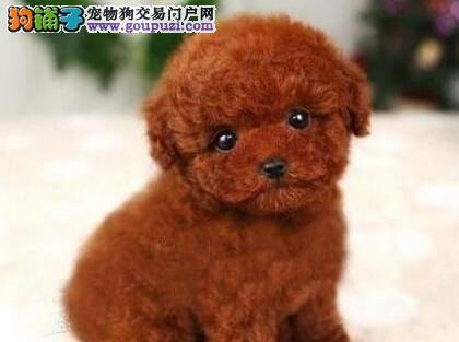 貌似玩具小熊的娇俏精灵——泰迪宝宝,极致犬业