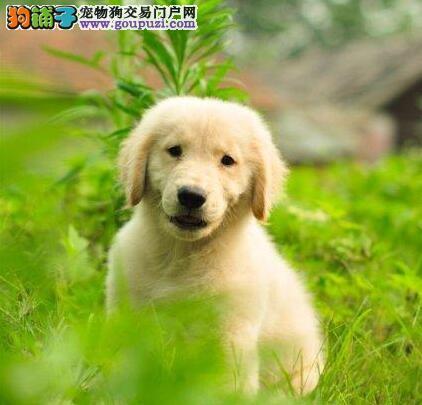 自家繁殖纯种金毛 长沙市区的随时联系上门看狗