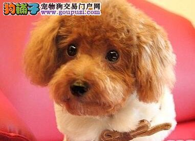 低价出售正宗韩国血统贵宾犬 成都附近城市可送狗上门