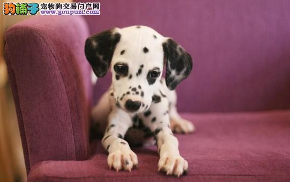 贵阳出售极品斑点狗幼犬完美品相带血统证书签活体协议