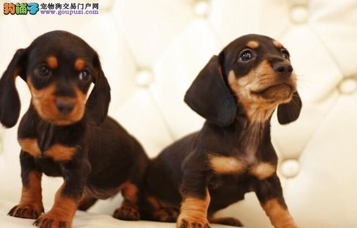 低价热销-超可爱纯种腊肠幼犬- 健康质保!