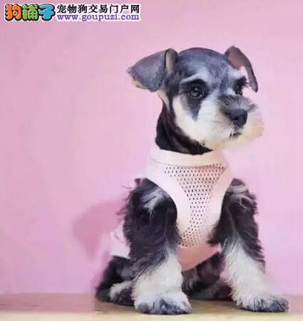 椒盐色深灰色的广州雪纳瑞幼犬找新家 请大家放心选购