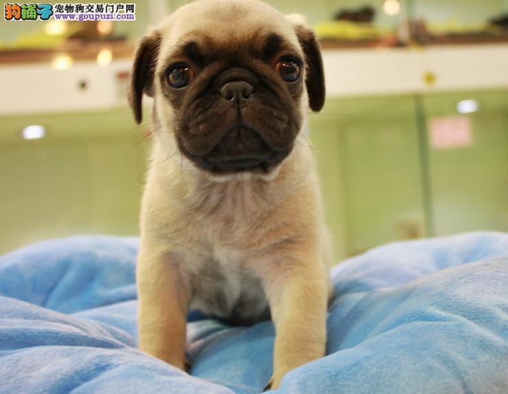 纯种黑色银色杏黄色、浅黄褐色健康巴哥犬武汉哪里有卖
