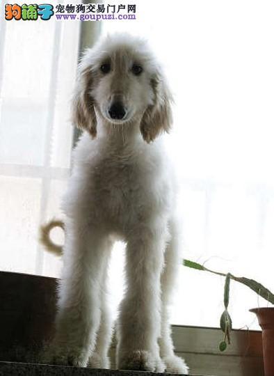 济南自家养殖纯种阿富汗猎犬低价出售期待您的来电咨询