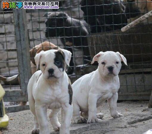 家养多只美国斗牛犬宝宝出售中品质血统售后均有保障