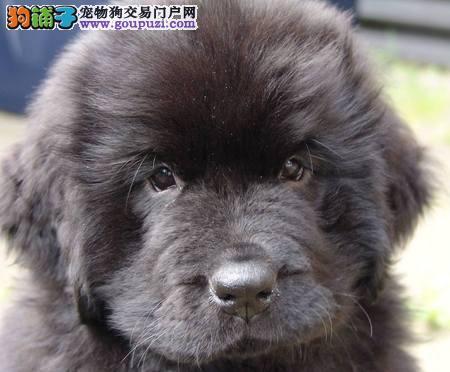 精品纯种杭州纽芬兰犬出售质量三包喜欢它的快来