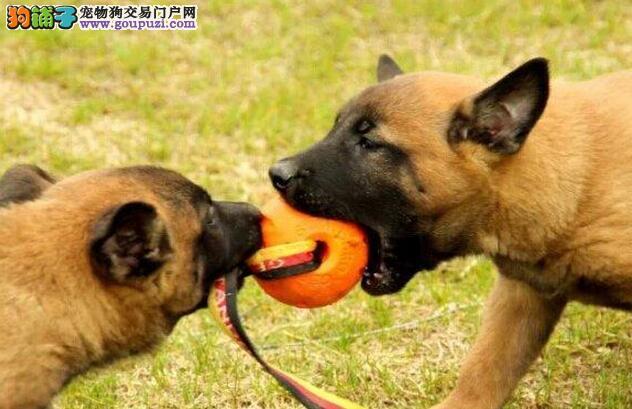 专业的马犬犬舍终身保健康以品质惊世人