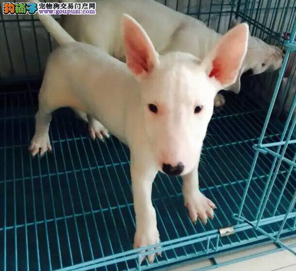 牛头梗贵阳CKU认证犬舍自繁自销全国空运发货