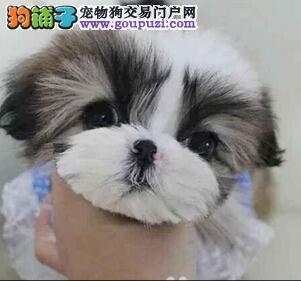 大型专业培育西施犬幼犬包健康我们承诺售后三包