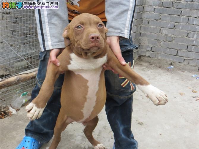 贵阳出售比特犬颜色齐全公母都有微信咨询视频看狗
