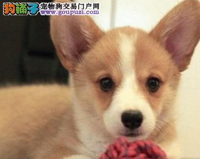 郑州热销纯种柯基犬 两色 三色柯基犬 血统健康保证