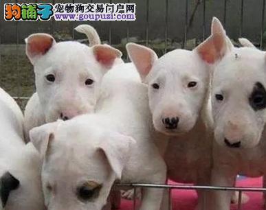 合肥家养的一窝纯种的牛头梗幼犬出售 健康品相好