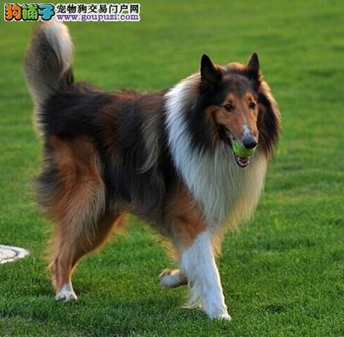 合肥自家繁殖赛级纯种苏格兰牧羊犬 颜色靓品相佳