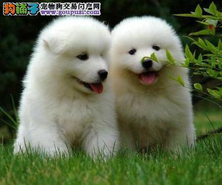低价出售微笑天使萨摩耶 直接来长沙购买可赠送狗用品