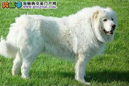 出售正宗血统优秀的郑州大白熊可直接视频挑选