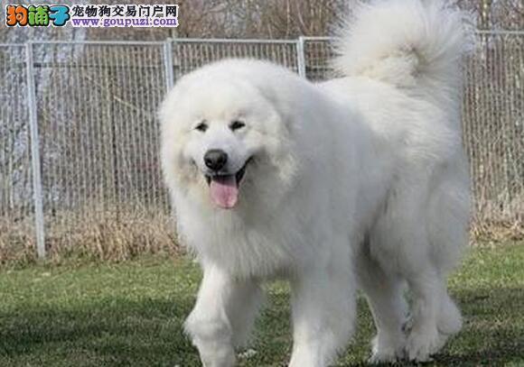 出售纯种血统健康体魄雪白可爱的大白熊