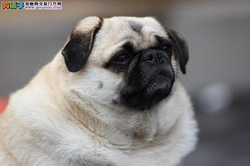 南宁知名犬舍出售多只赛级京巴期待您的咨询