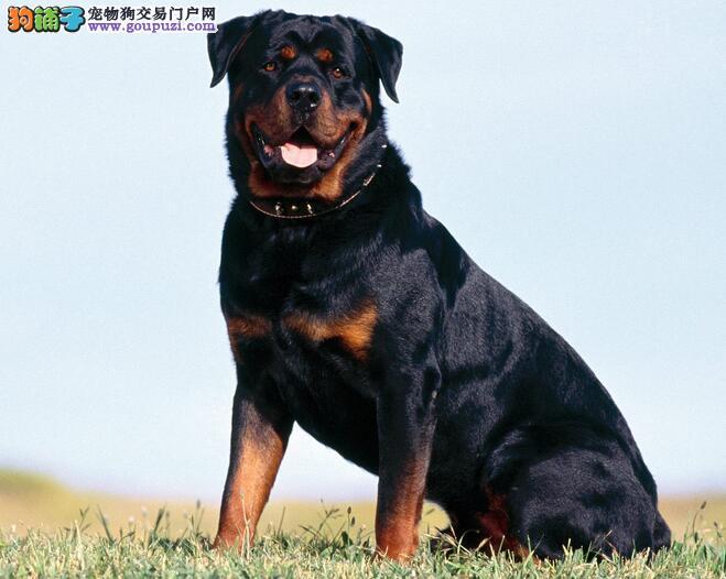 精英护卫犬罗威纳 福州市出售罗威纳 欢迎咨询