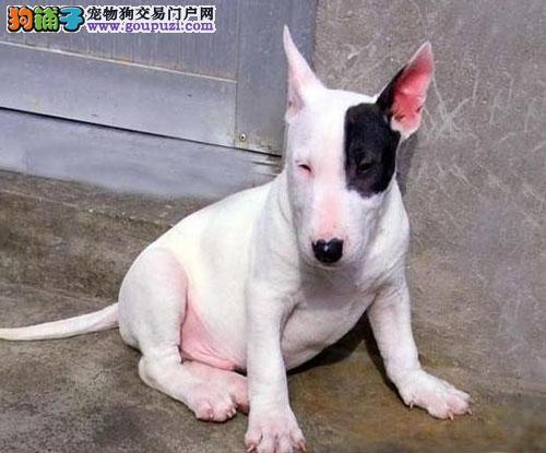 南京出售纯种强壮、敏捷而且勇敢的牛头梗幼犬