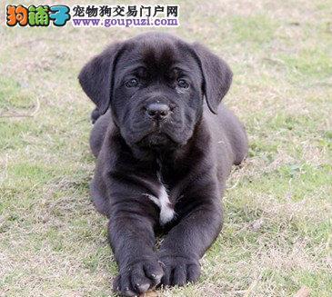 气势凶猛精典品质卡斯罗幼犬出售 疫苗齐全 保证健康