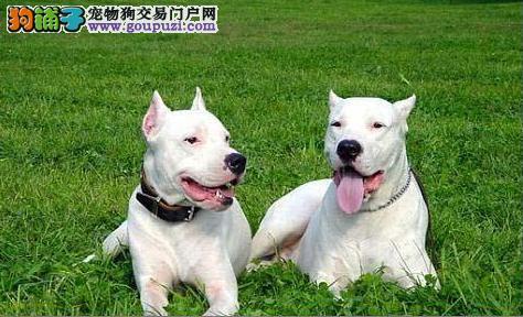 自家狗狗繁殖的纯种杜高幼犬出售,欢迎上门选购