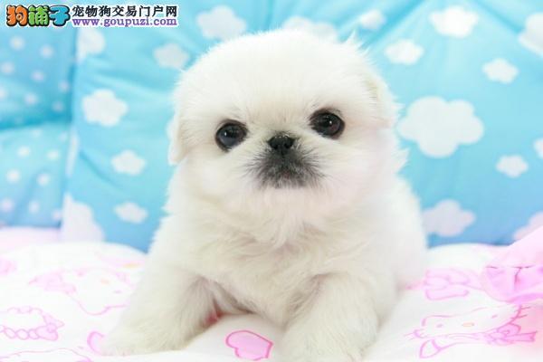 出售纯种 白色京巴犬 幼犬 纯种宫廷京巴幼犬