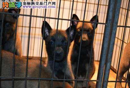 自家繁殖马犬出售公母都有微信看狗可见父母