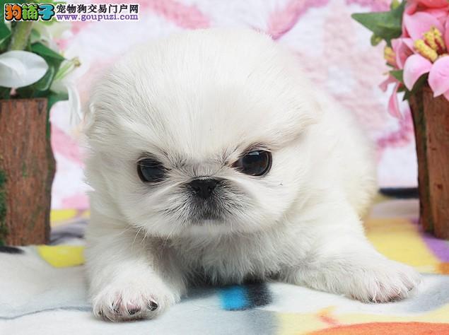 低价出售纯种京巴,健康白,京巴幼犬,京巴宝宝