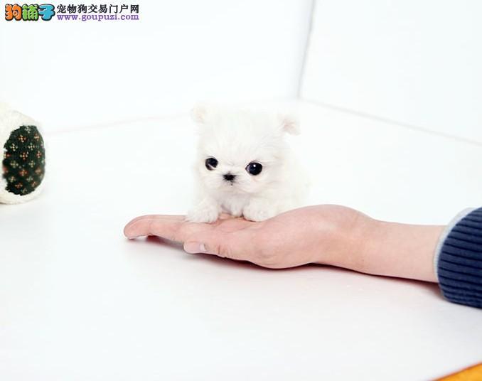 南京马尔济斯犬出售 哪里出售马尔济斯犬犬 价格多少