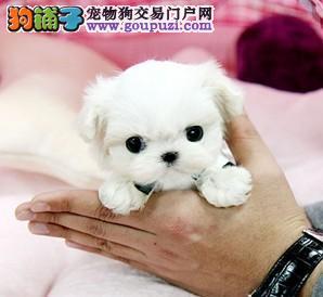 纯种赛级茶杯马尔济斯犬 白色马尔济斯幼犬出售带证书