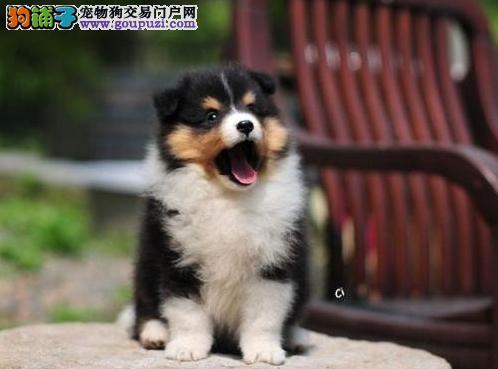 现有喜乐蒂幼犬低价出售 欢迎上门挑选