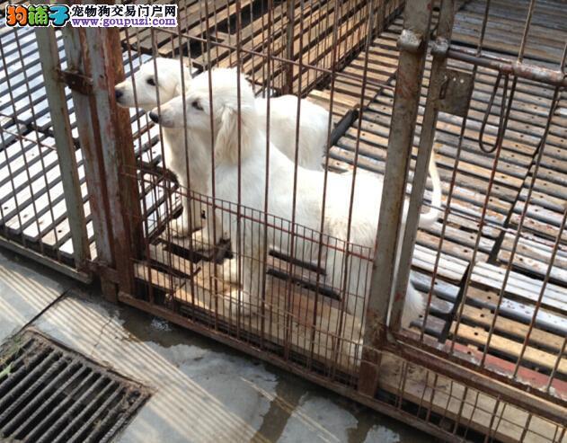 赛级品相南昌阿富汗猎犬幼犬低价出售微信咨询看狗狗视频
