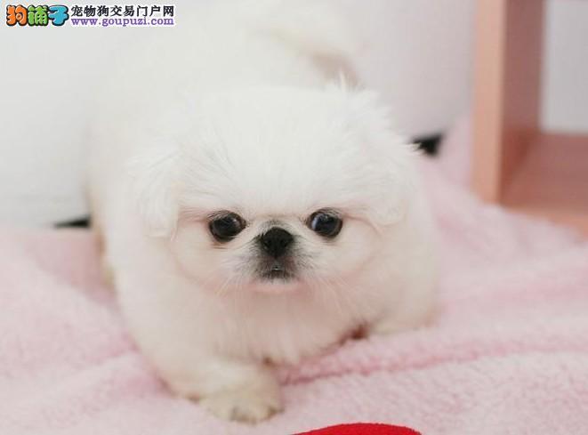 京巴幼犬热销中 假一赔十价位最低 提供养狗指导