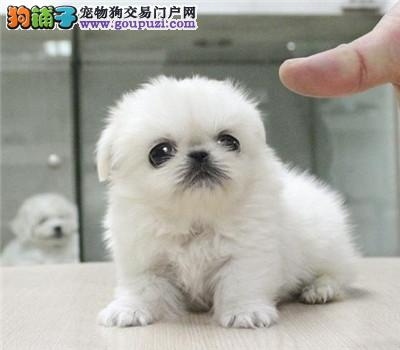 济南CKU认证犬舍出售高品质京巴全国送货上门