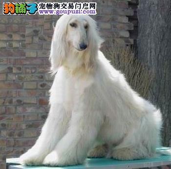 出售阿富汗猎犬健康养殖疫苗齐全微信视频看狗