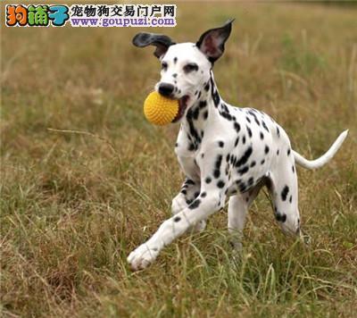 出售多只优秀的斑点狗福州可上门签署各项质保合同
