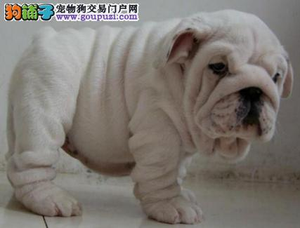 出售可爱纯种深圳斗牛犬 可签订活体销售协议售后好