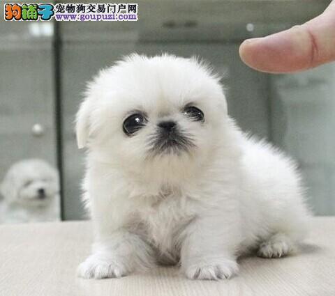 专业正规犬舍热卖优秀的郑州京巴欢迎爱狗人士上门选购