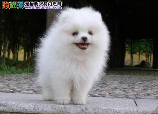 贵阳繁殖基地出售极品博美犬幼犬 品质好血统纯